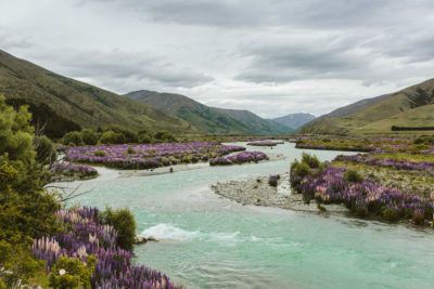 Queenstown, New Zealand Summer lupine along the river
